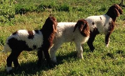 3 awassi lambs