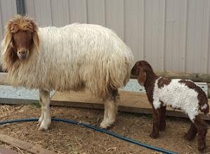 Awassi and her lamb