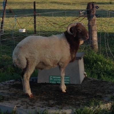 Awassi ram lamb